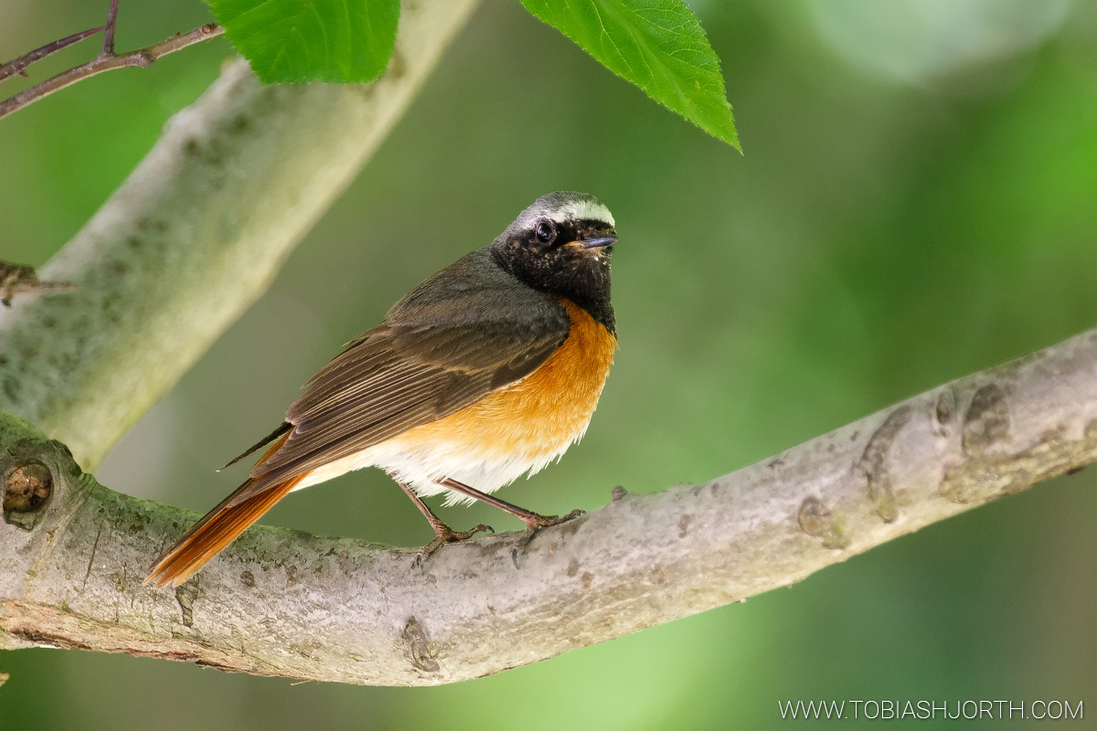 Common redstart 1