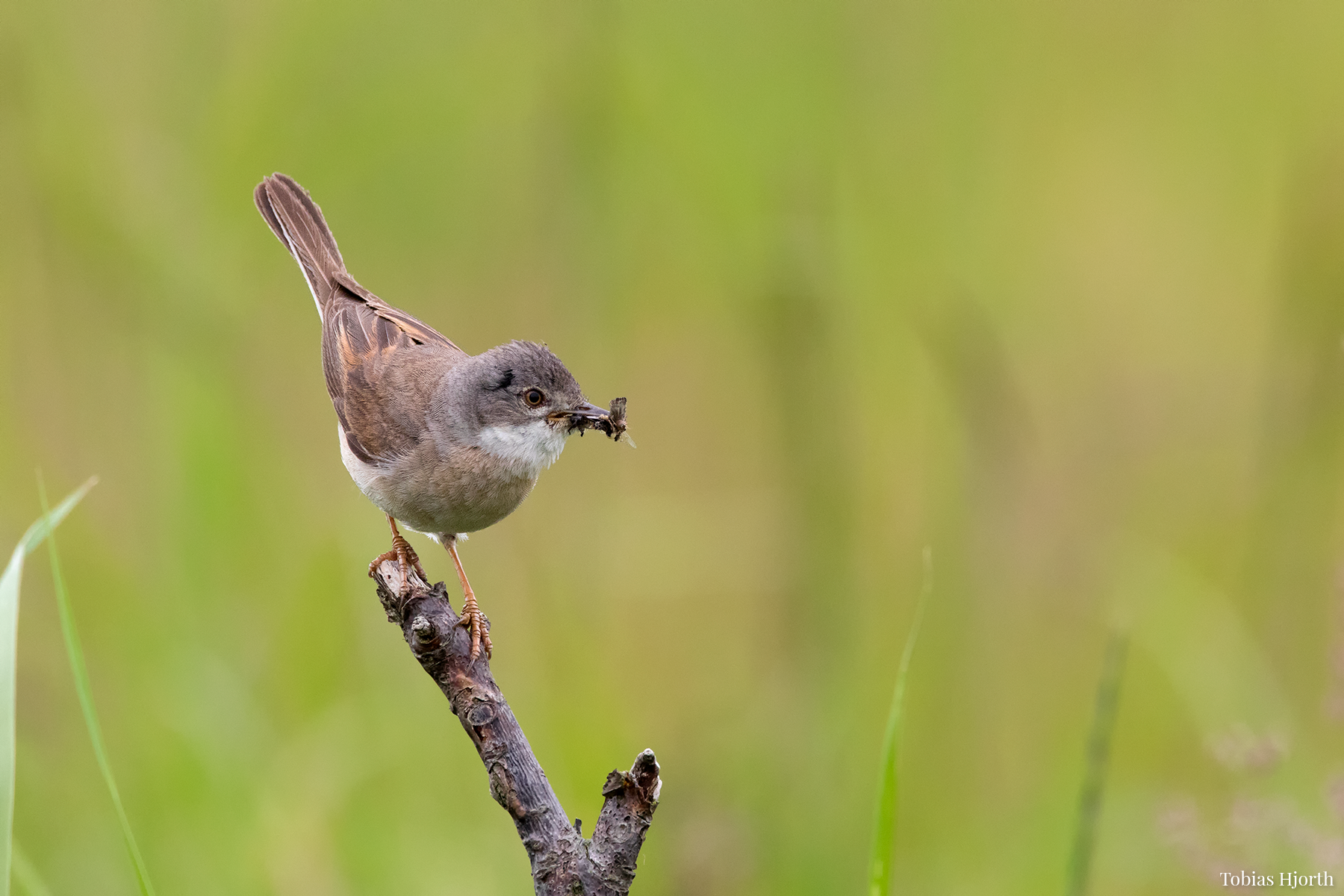 Common whitethroat 1