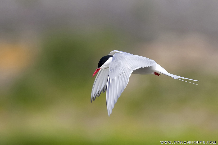 Common Tern 6