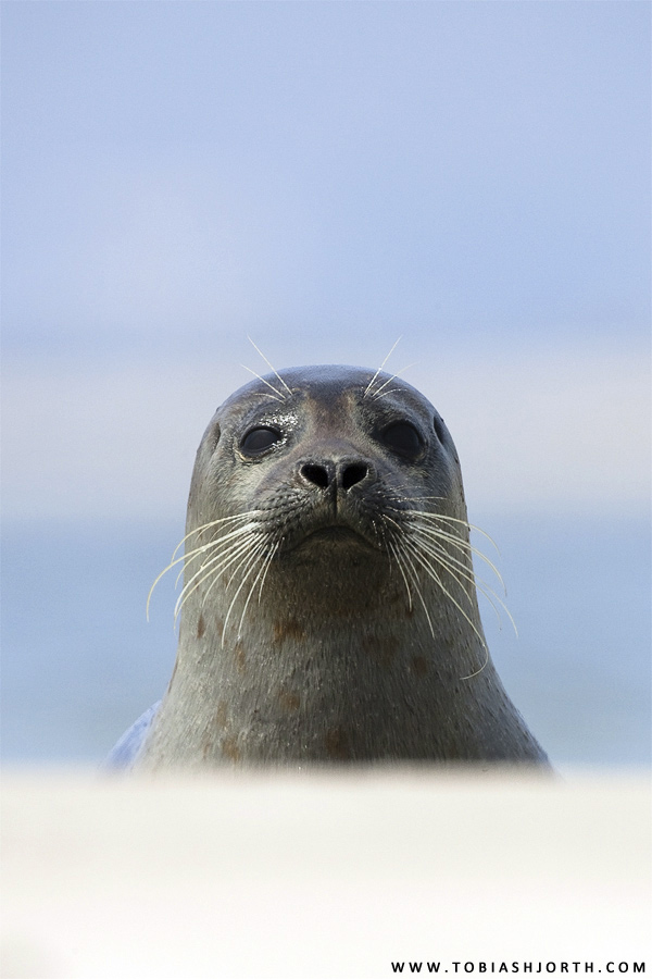 Common Seal 2