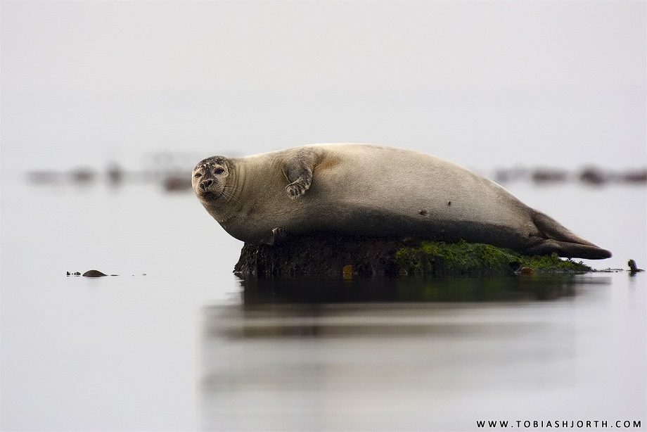 Common Seal 4