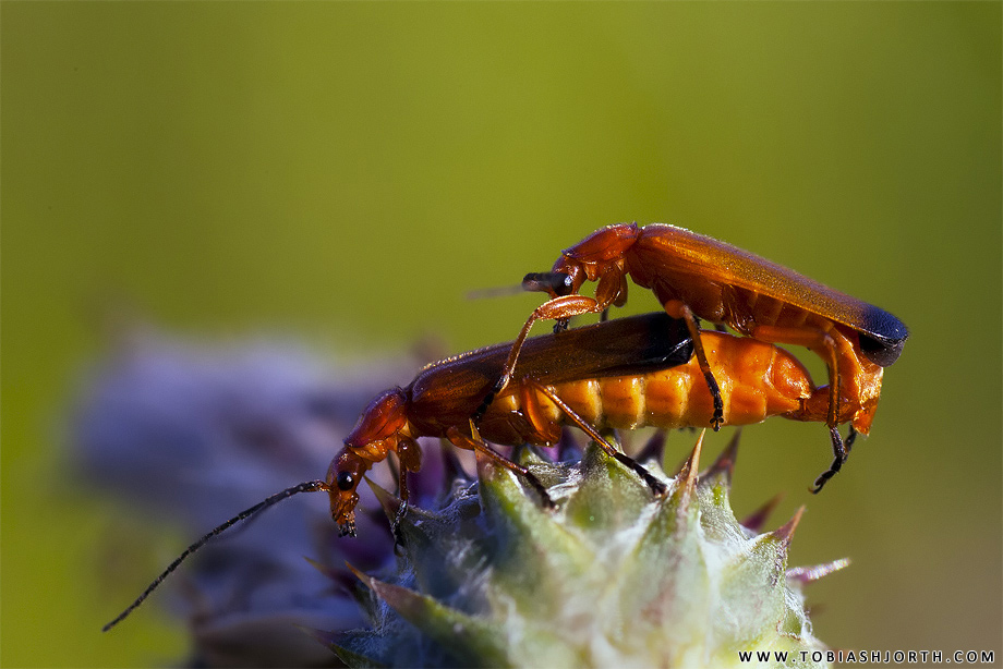 Common Red Soldier Beetle 1