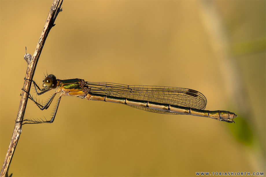 Emerald Damselfly 1