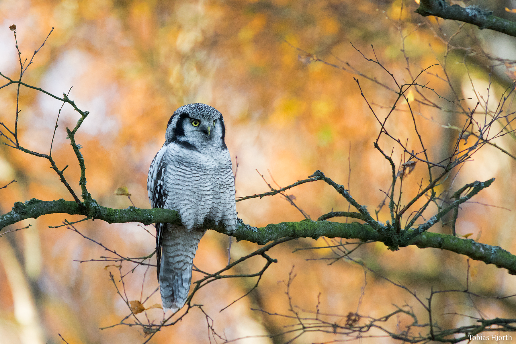 Northern Hawk-owl 1