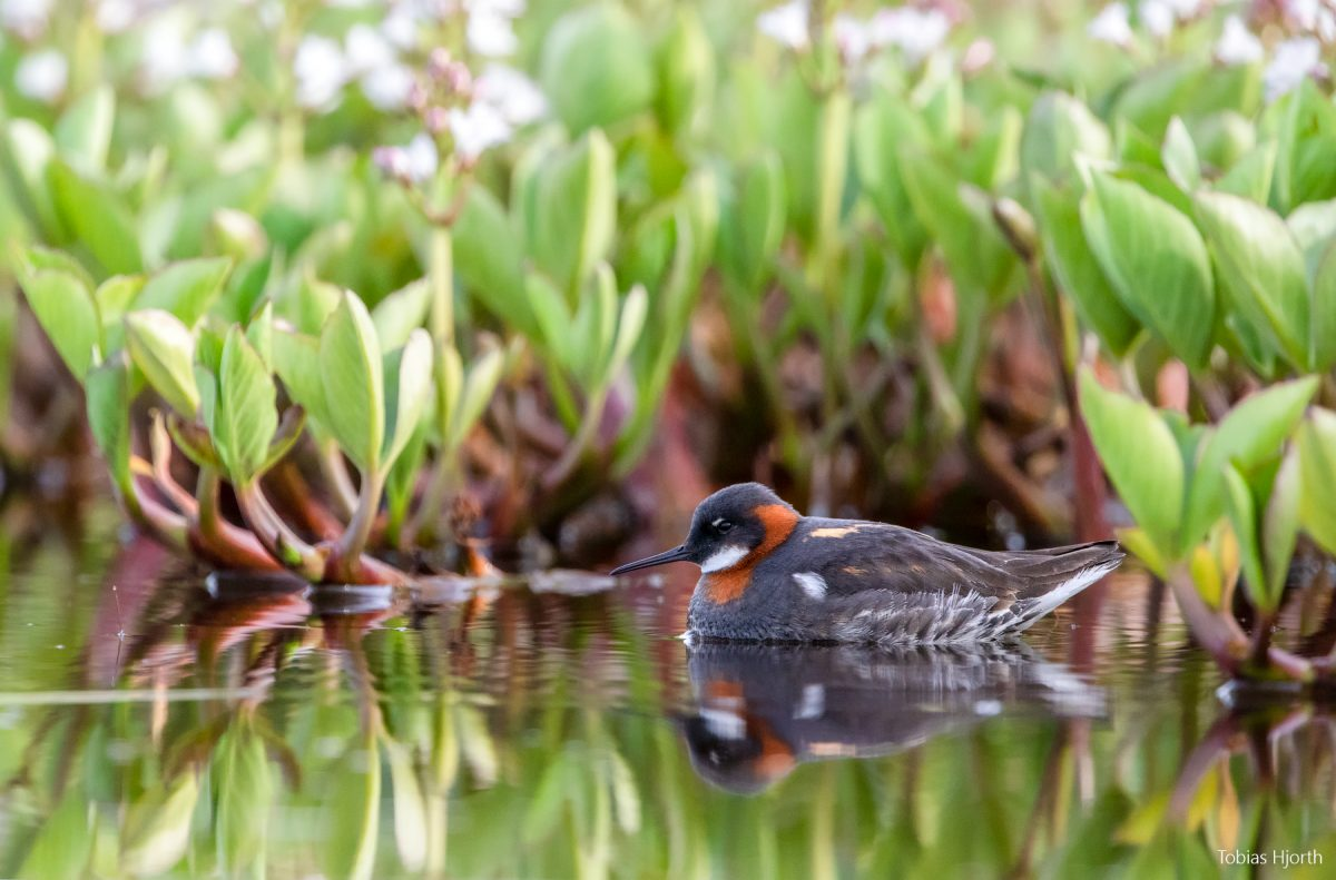 Red-necked phalarope in environment