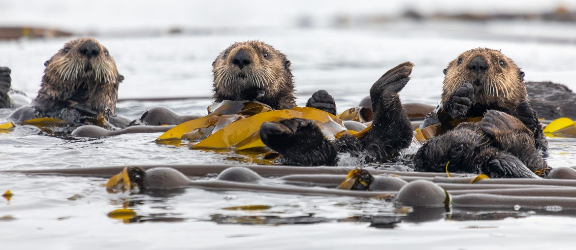 Sea otter in natural environment