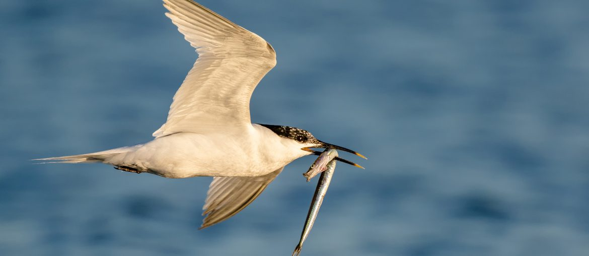 Flying sandwich tern 2 with a fish in the mouth