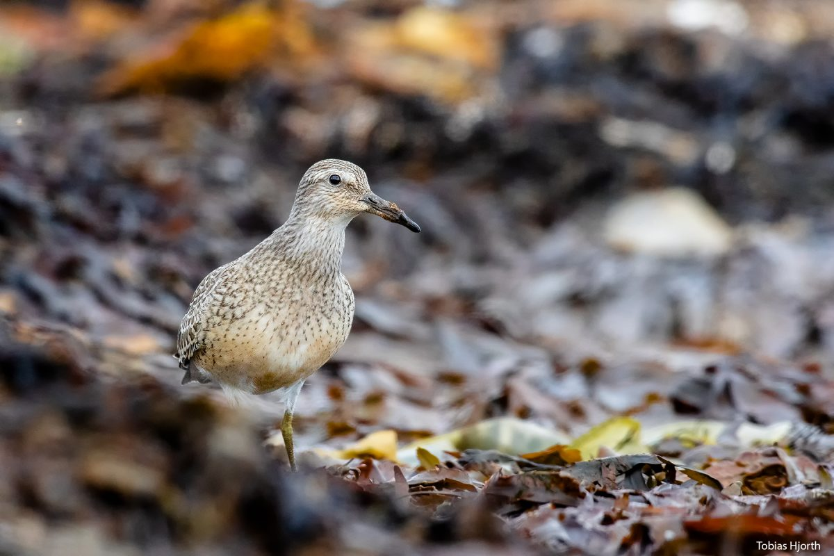 The Red knot in natural habitat