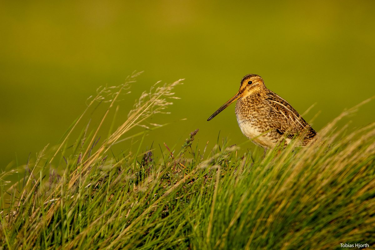 Common snipe well hidden