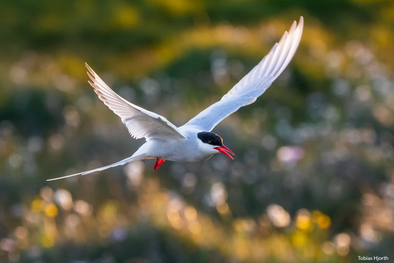 Artic tern with green difuse background