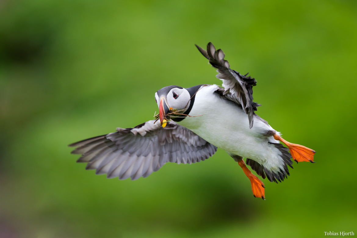 Atlantic puffin 3