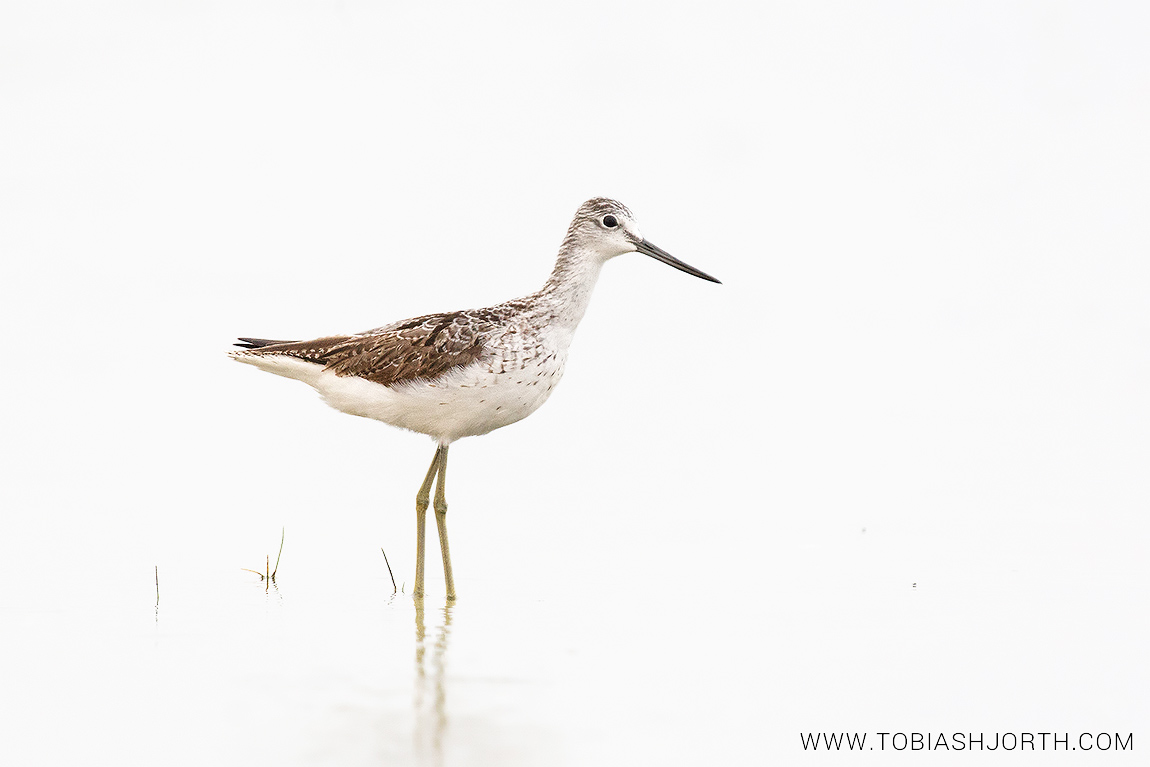 Common greenshank 2