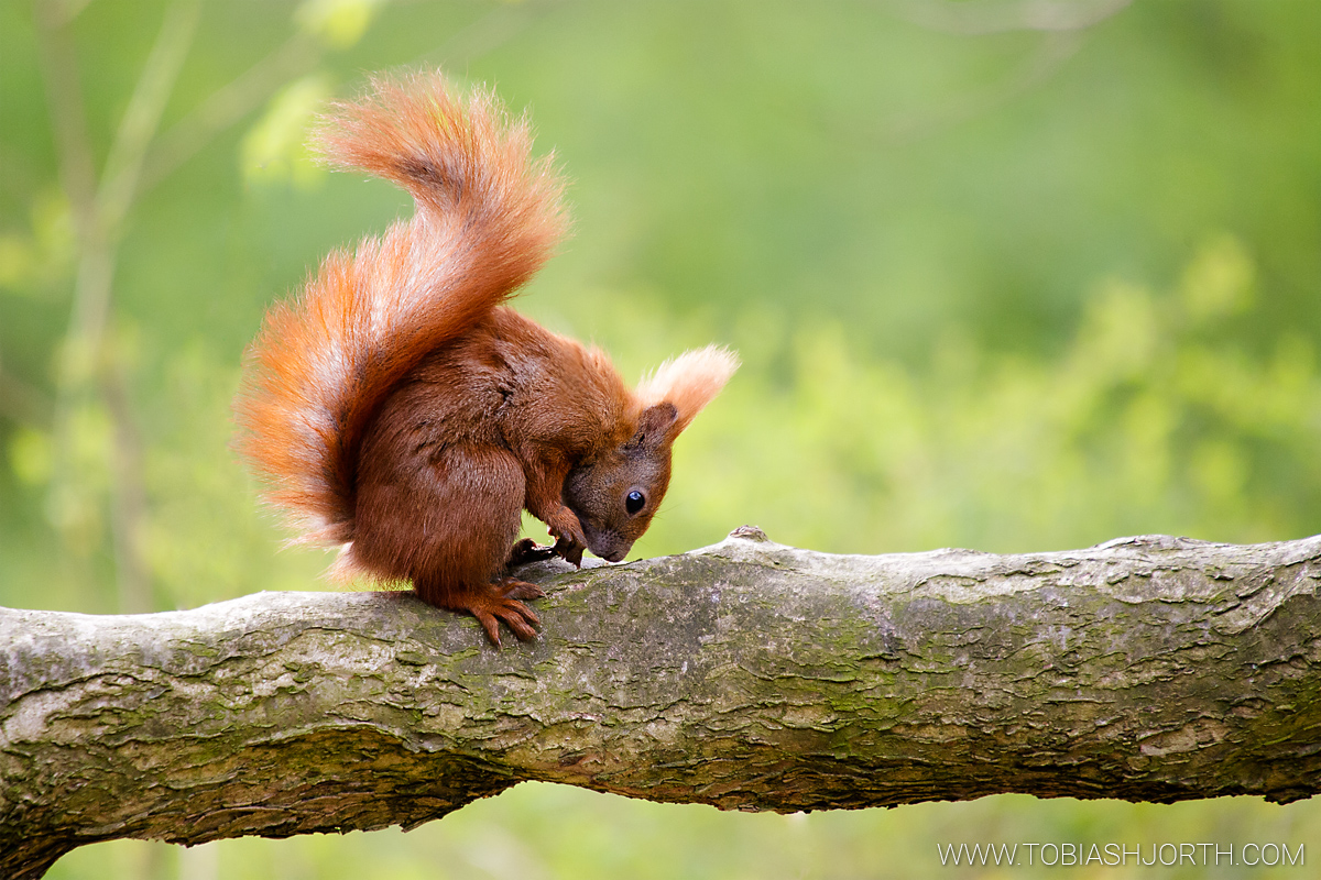 Eurasian red squirrel 1