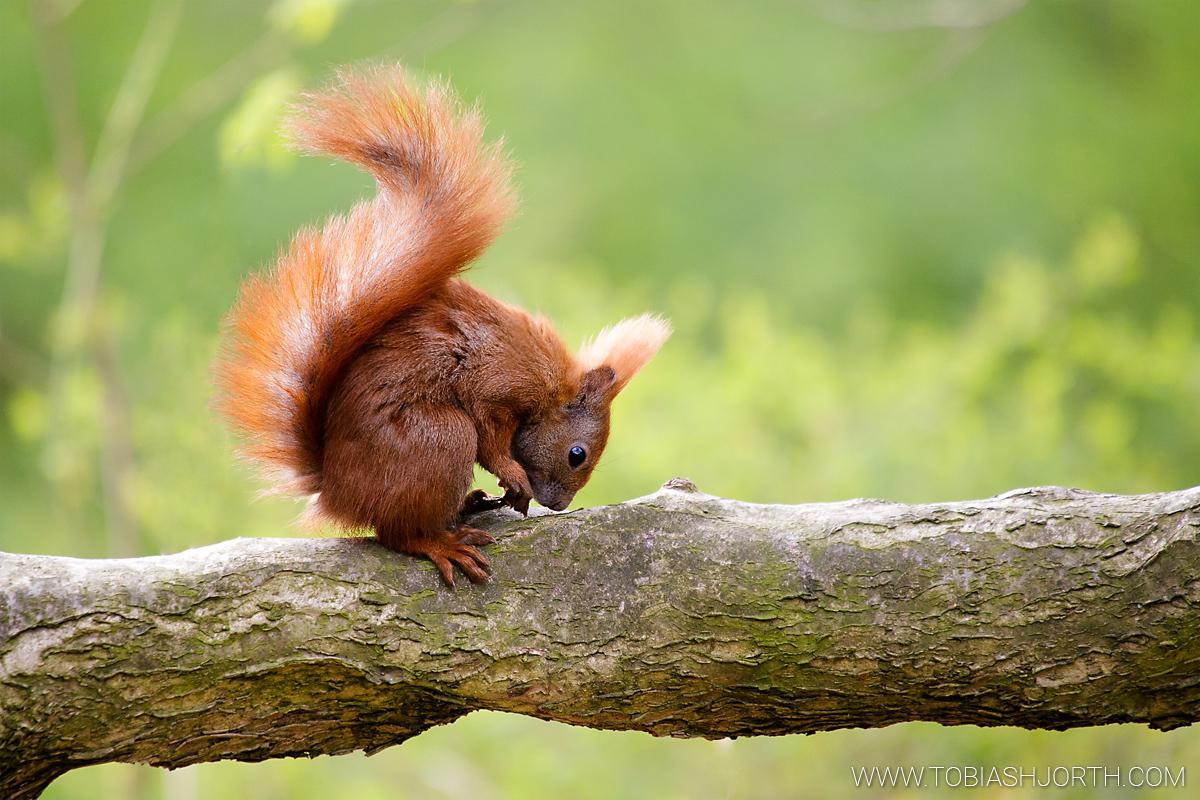 Eurasian red squirrel 1