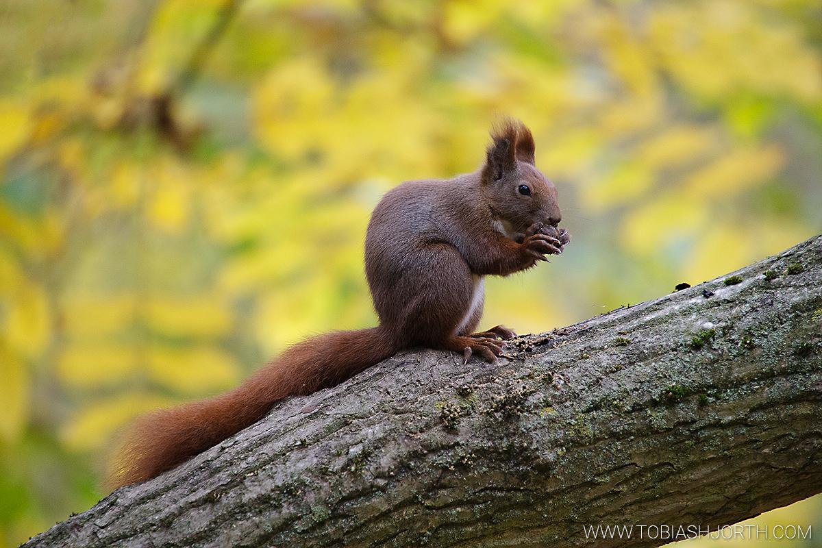 Eurasian Red Squirrel 2