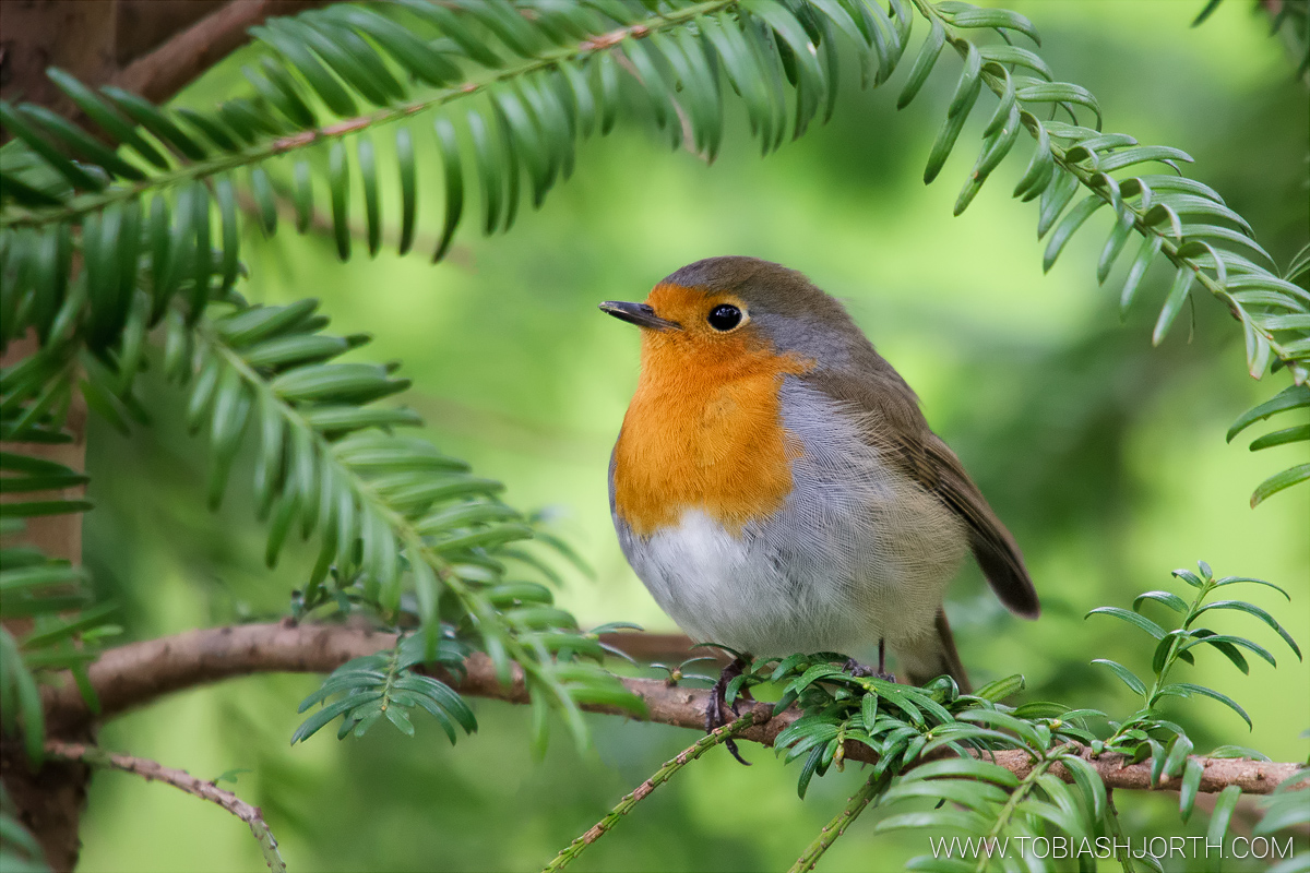 European Robin 1