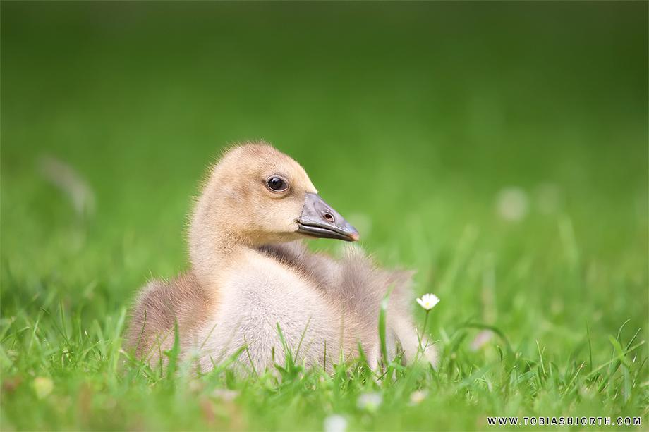Greylag Goose 4