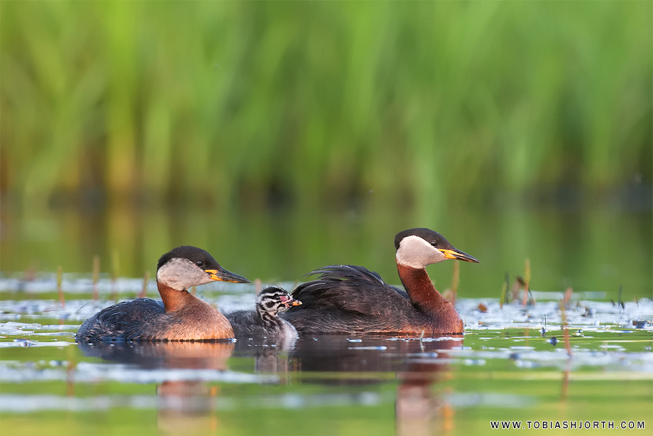 Red-necked Grebe 5