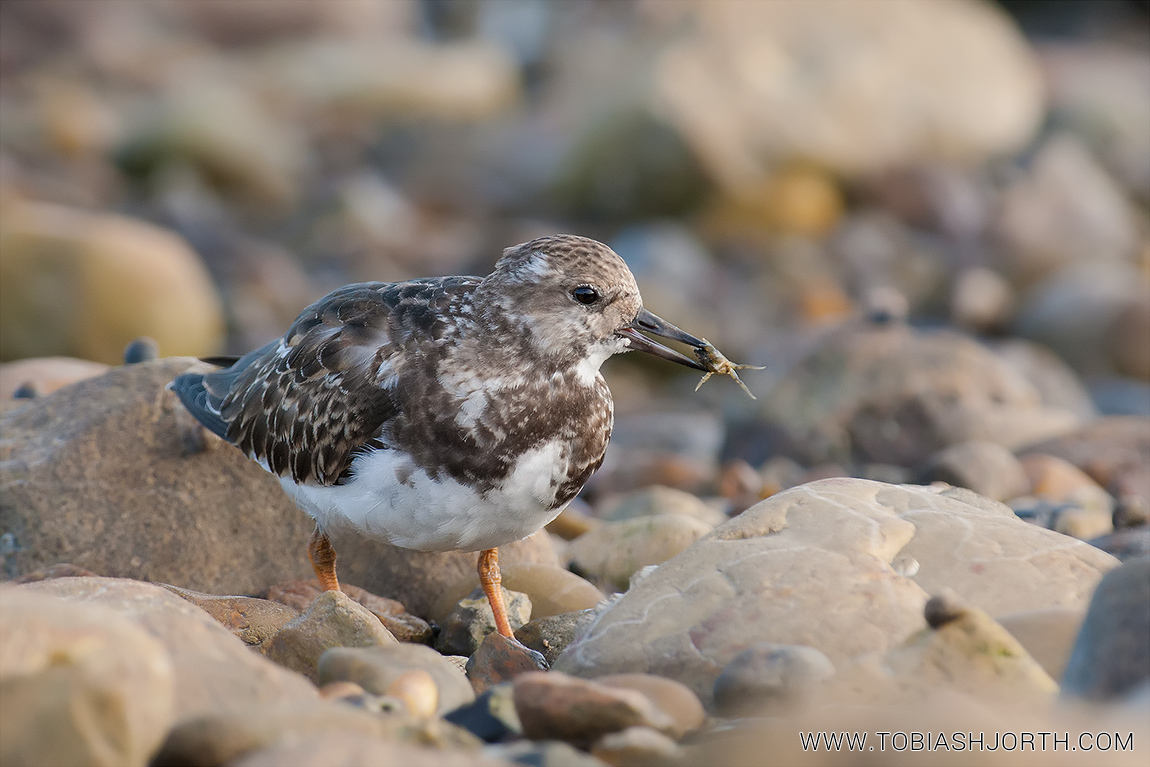 Ruddy Turnstone 4