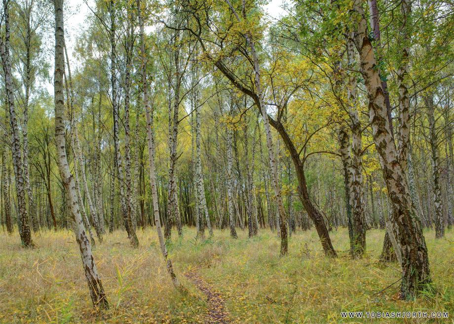 silver birch forrest 1