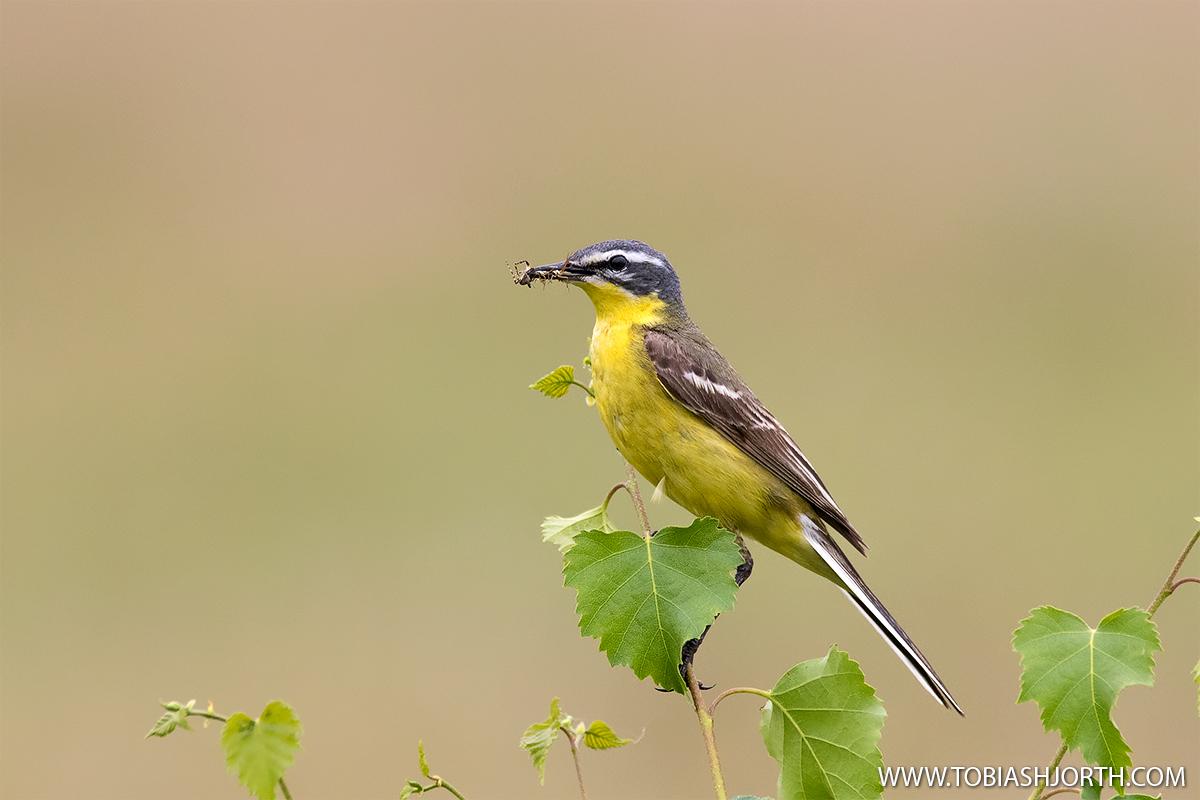 Yellow wagtail 2